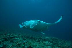 BD-150424-Maldives-8022-Manta-birostris-(Walbaum.-1792)-[Giant-manta.-Stillahavsmanta].jpg